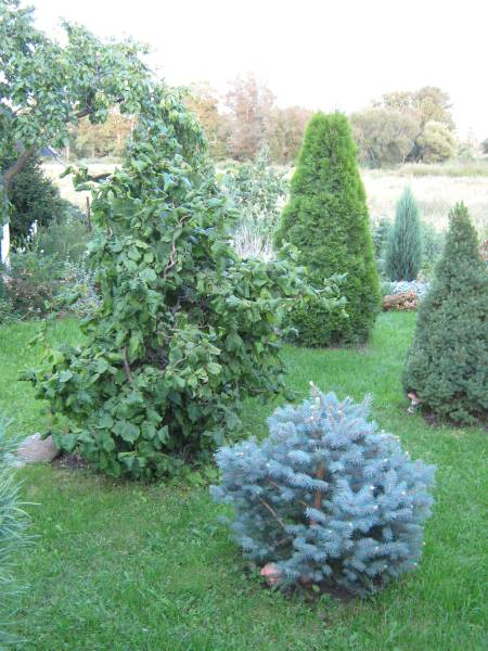 Кучерявая лещина в садовой композиции