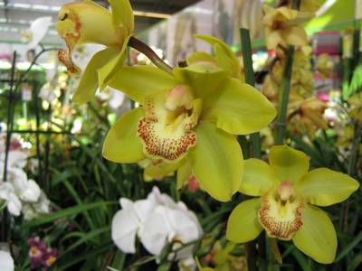 орхидея ванда уход в домашних условиях с фото форум