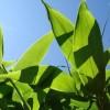 Курильский бамбук