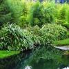 Курильский бамбук метельчатый