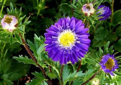 http://www.floraprice.ru/v2/wp-content/uploads/2010/01/astra_01.jpg