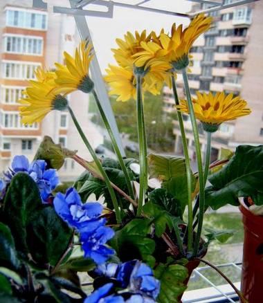 Гербера и сенполия на северном окне цветут почти непрерывно