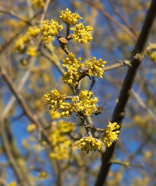 Кизил цветет