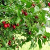 Кизил, плоды