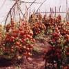 томаты сорта Низкорослый ранний-1 в пленочной теплице автора