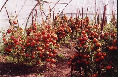 Когда ваши томаты вырастут до десяти сантиметров, им потребуется очередная пересадка.  На дне подготовленных емкостей.