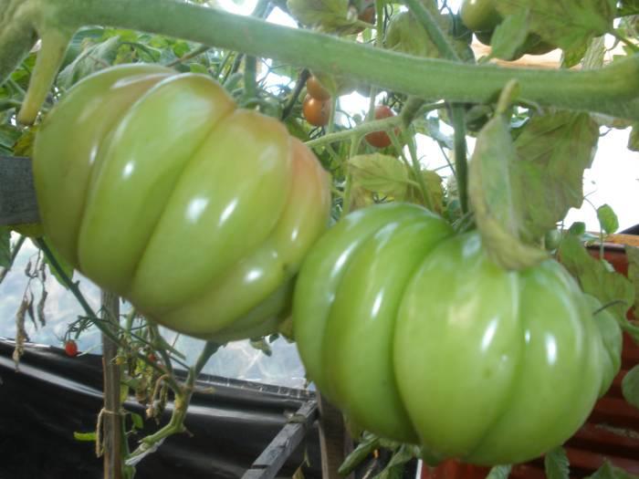 томат перцевидный отзывы
