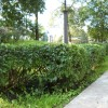 Бордюр из стриженых кустов. Фото Е. Валентинова