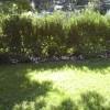 Бересклет в зеленой изгороди