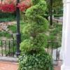 топиарное растение