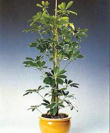 heptapleurum, гептаплеурум древесный