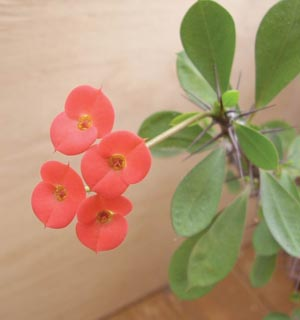 Молочай блестящий или молочай Милли (Euphorbia Milli)