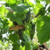 Огурцы гроздьями свисают у входа в веранду