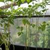 Фасоль на стенках веранды