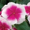 Барвинок, катарантус розовый