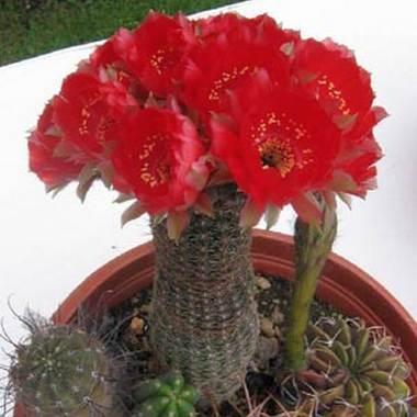 лобивия, кактусы горные