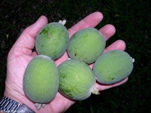 Фейхоа,плоды