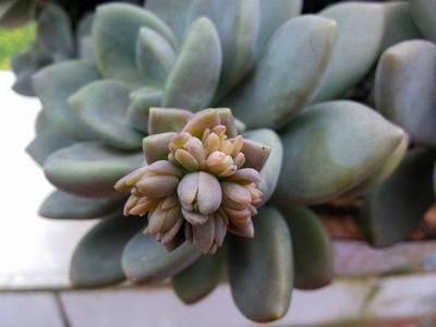 Пахифитум (Pachyphytum)