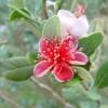 Фейхоа, цветок