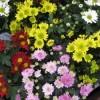 Хризантема мелкоцветковая