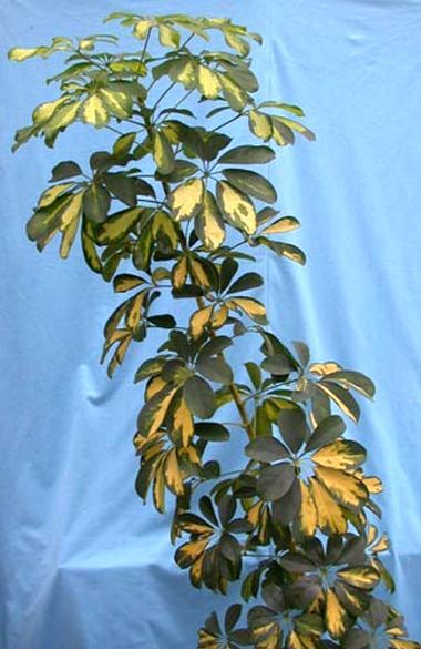 Schefflera, шеффлера, комнатные растения