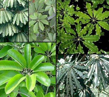 различные формы листьев шеффлеры