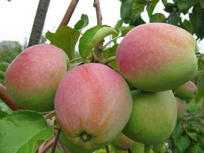Яблоки сорта Северный синап