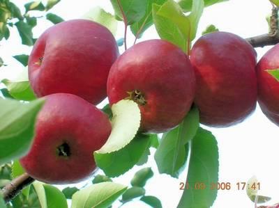 Яблоки сорта ЖИГУЛЕВСКОЕ