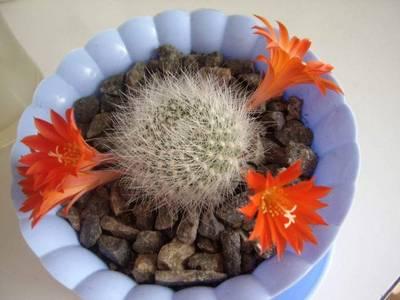 Этому кактусу Rebutia senilis уже 4 года