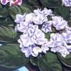 узамбарская фиалка, сенполия, saintpaulia