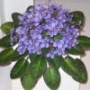 узамбарская фиалка, saintpaulia, сенполия