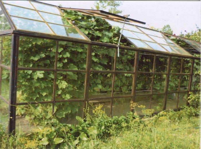 Виноград в теплице технология выращивания 632