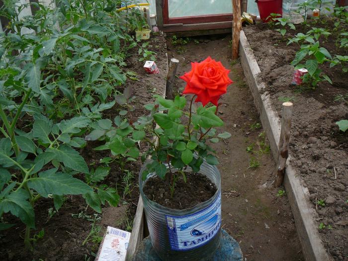Розы микс как сажать