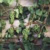 Виноград сорта Бианка