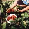 Сбор урожая земляники