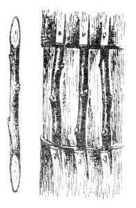 Прививка мостиком за кору