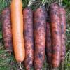 Морковь сорта Наталья
