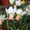 Нарциссы. Сорт Cotinga 6 w-p
