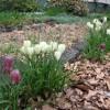 Рябчики в саду