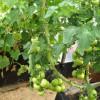 Огурцы растут рядом с томатами