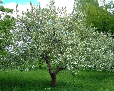 Яблоня, сформированная кронированием