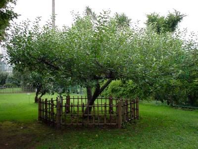 Яблоня с отогнутыми ветвями