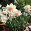 Нарцисс. Сорт delnashaugh-4 w-p