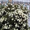 Роза парковая в Висячем саду