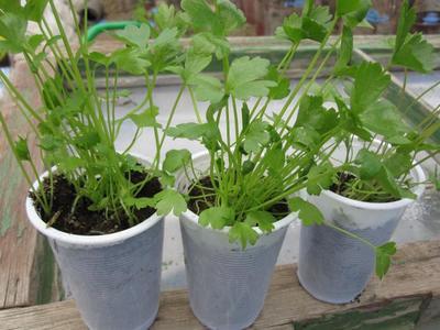 Сельдерей корневой выращивание и