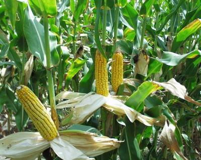 Кукуруза зреет