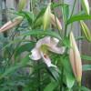 Лилия длинноцветковая