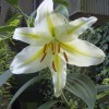 Золотистая лилия