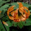 Лилия леопардовая