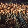 Хороший урожай созрел из семян